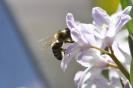 Biene auf Blüte_1