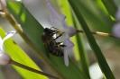 Biene auf Blüte_2