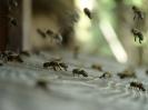 Bienen_3