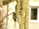 Bienenflug im Frühling_2